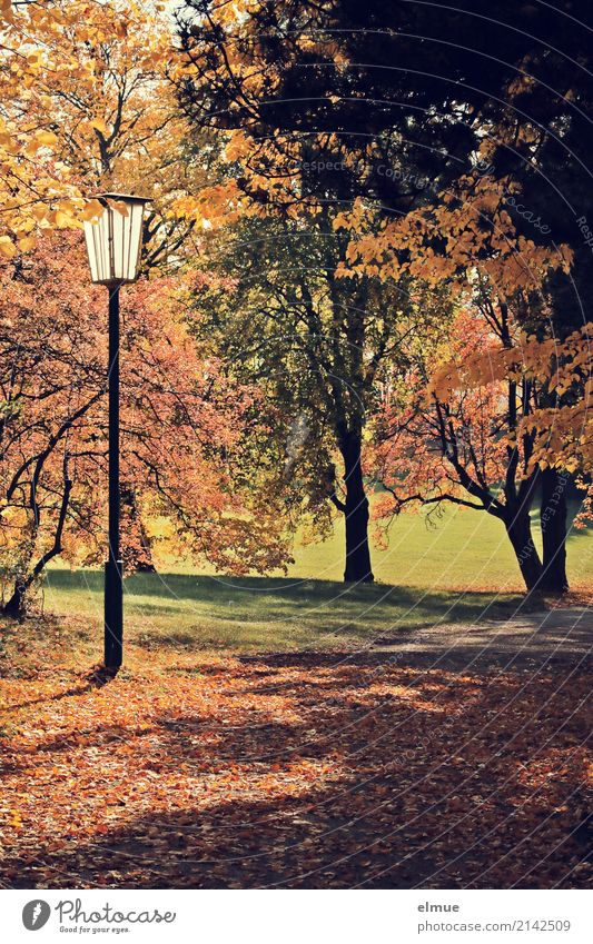 parking whisper Environment Plant Autumn Beautiful weather Tree Autumn leaves Deciduous tree Park Illuminate Friendliness Bright Natural Brown Yellow Gold Happy