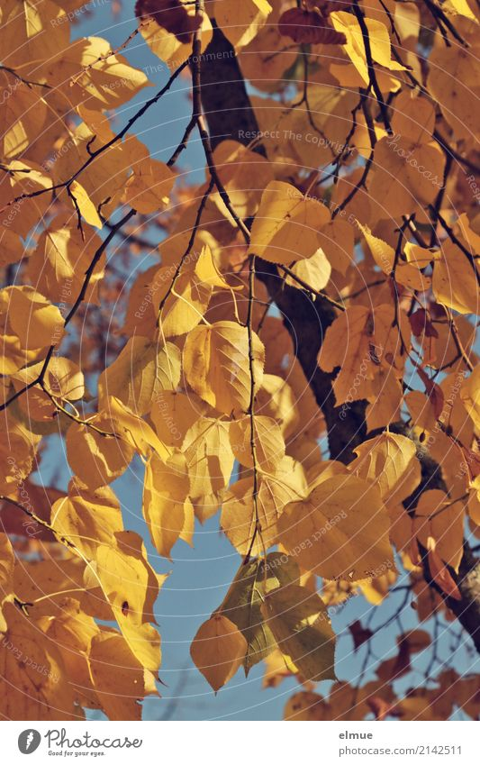 lime gold Nature Plant Autumn Beautiful weather Tree Lime tree Lime leaf Autumn leaves Park Hang Blonde Dry Yellow Gold Acceptance Calm Fatigue Longing