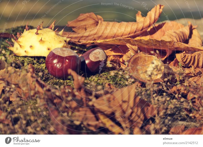 hedgehog Environment Nature Autumn Leaf Chestnut Chestnut leaf chestnut hedgehog Hedgehog Park Lie Small Near Thorny Brown Happy Romance Design Discover