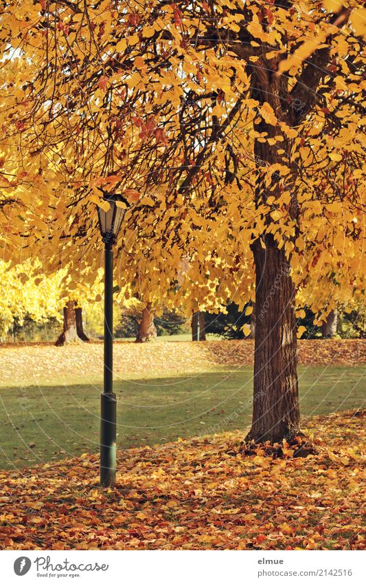 Lime tree and lantern Environment Autumn Beautiful weather Tree Lime leaf Autumn leaves Park Illuminate Bright Warmth Yellow Gold Contentment Romance Serene