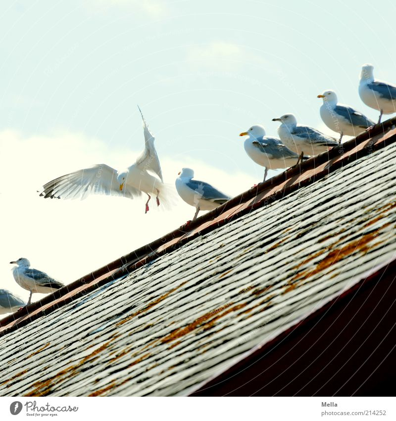 landing site Roof Roof ridge Animal Bird Seagull Group of animals Flying Crouch Sit Together Funny Movement Friendship Equal Life Row Line Diagonal Sunlight Sky