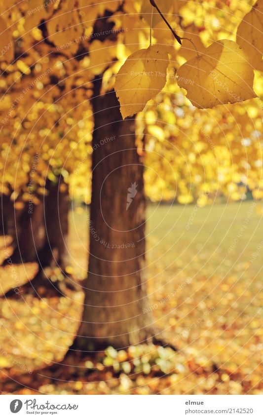 Nature Tree Yellow Autumn Emotions Time Dream Park Illuminate Gold Esthetic Blonde Beautiful weather Joie de vivre (Vitality) Transience Romance
