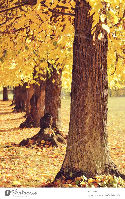 Old as a tree ... Environment Sunlight Autumn Tree Lime tree Lime leaf Tree trunk Autumn leaves Park Illuminate Blonde Bright Yellow Gold Contentment