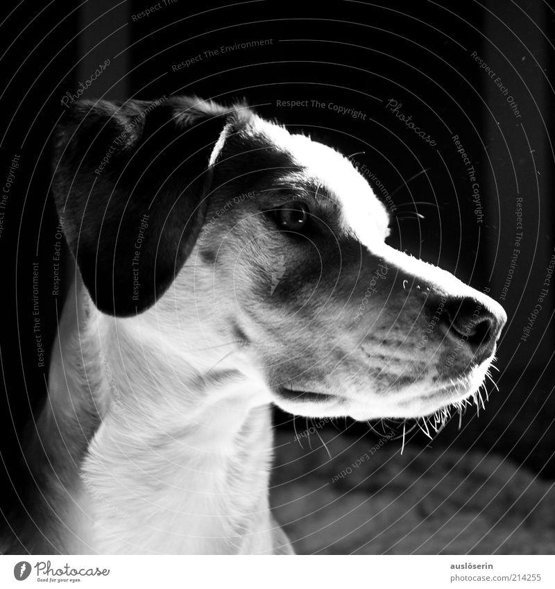 White Beautiful Joy Calm Black Eyes Animal Gray Dog Moody Nose Happiness Esthetic Ear Observe