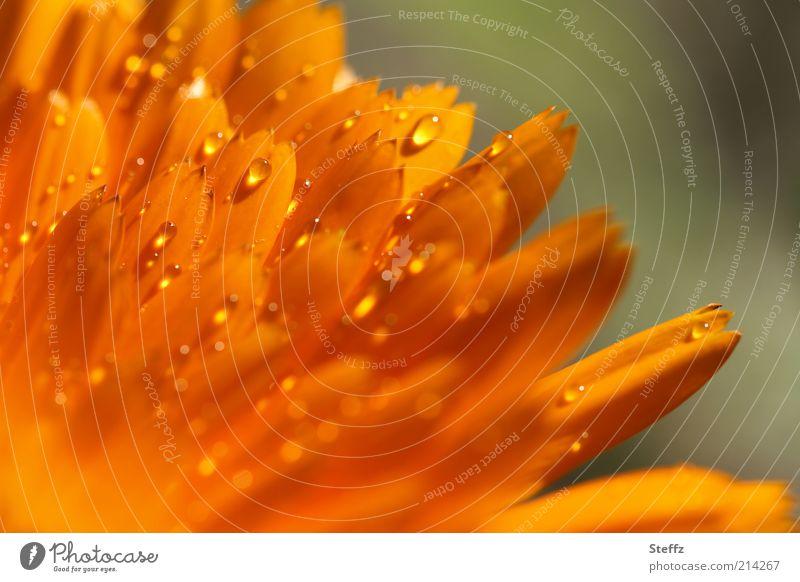 Nature Plant Summer Colour Flower Blossom Rain Orange Glittering Drops of water Blossoming Wet Dew Blossom leave Damp