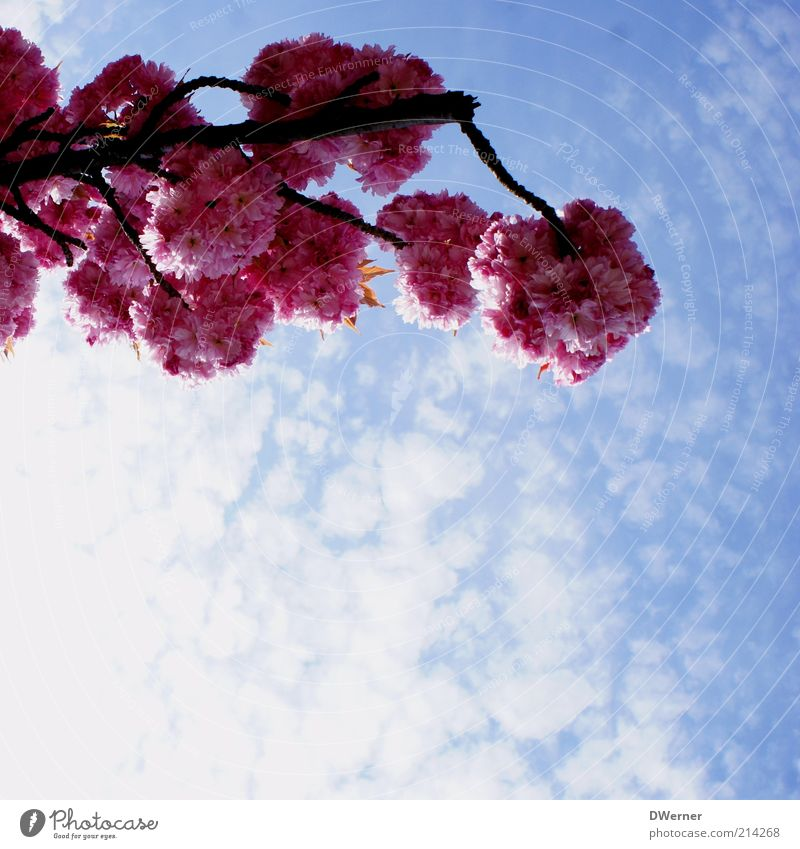 flower dream Environment Nature Plant Sky Clouds Spring Summer Beautiful weather Tree Blossoming Illuminate Fresh Positive Romance Ornamental cherry Branch Blue