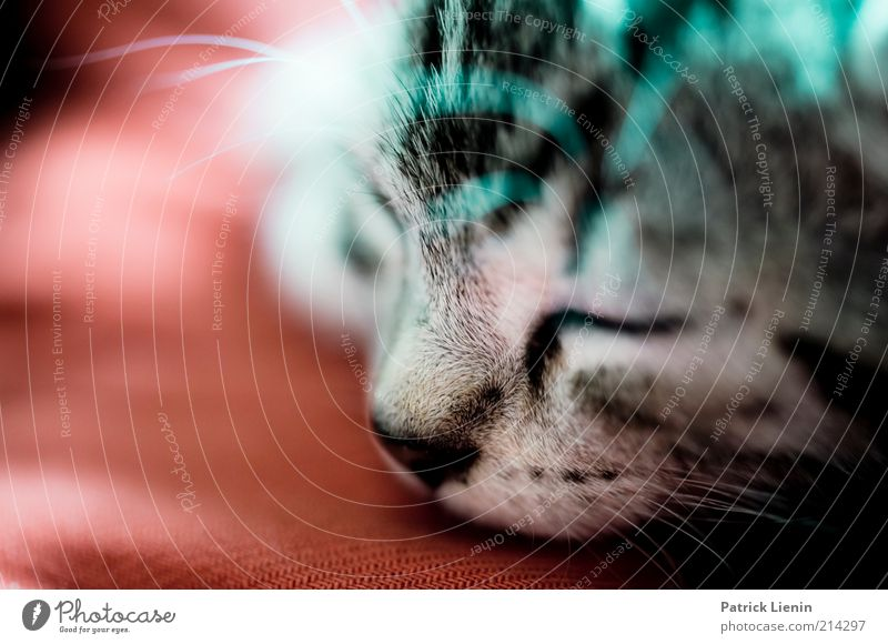 Sweet Dreams Animal Pet Cat Animal face 1 Relaxation Lie Sleep Beautiful Cute Positive Moody Contentment Trust Protection Safety (feeling of) Colour photo