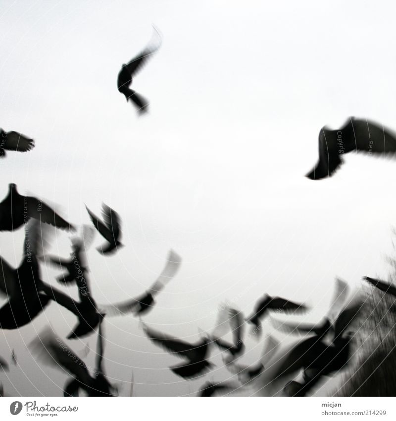 Vanishing Misguided Ghosts Nature Animal Air Sky Bird Wing Group of animals Flock Movement Flying Wild Black Flee Black & white photo Exterior shot Deserted