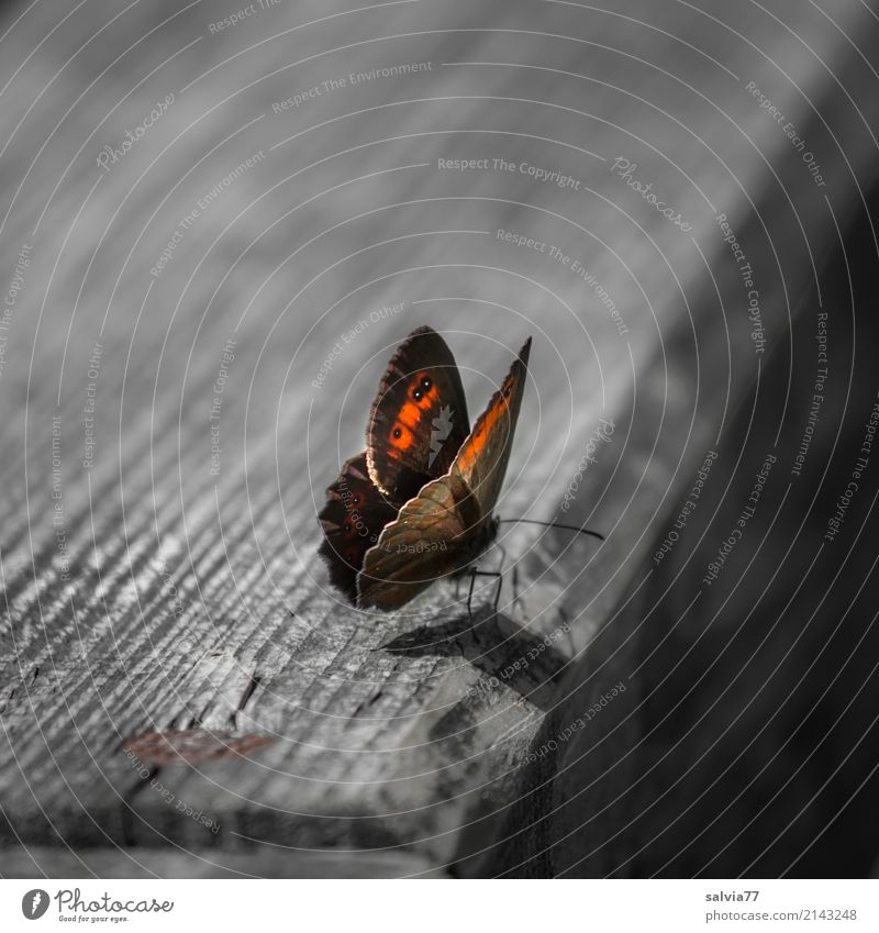 by hook or by crook Nature Summer Animal Butterfly Wing Insect Browns 1 Wood Woodway Yellow Gray Orange Contrast Wood grain Colour photo Subdued colour