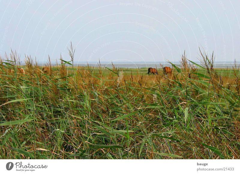 Meadow Horse Mud flats Juist island