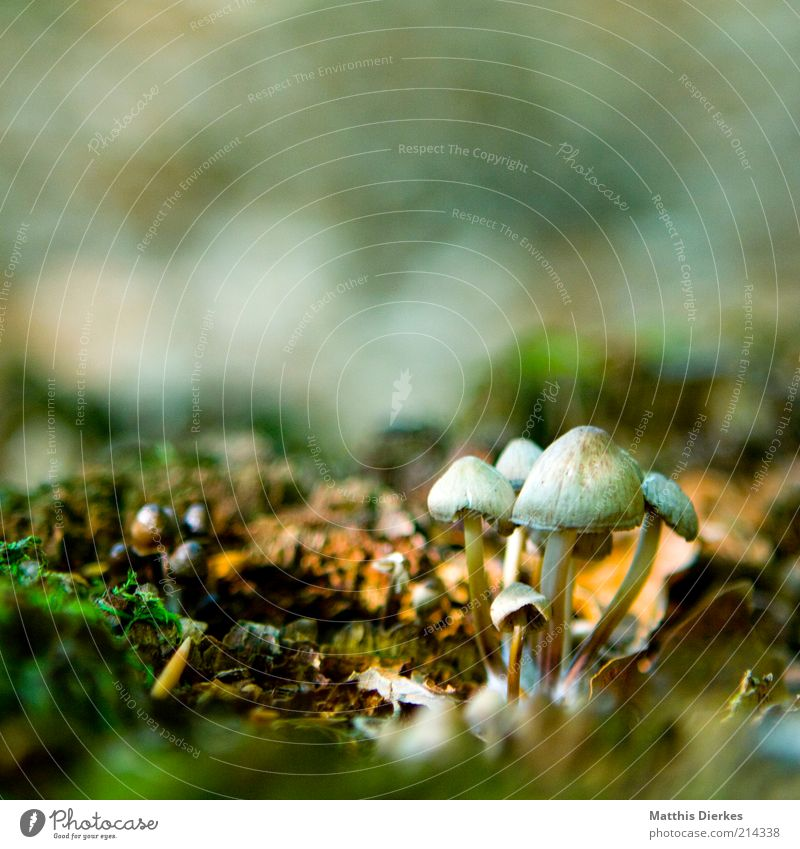 mushrooms Environment Nature Elements Earth Moss Old Esthetic Beautiful Uniqueness Brown Mushroom Honey fungus Woodground Colour photo Exterior shot Close-up