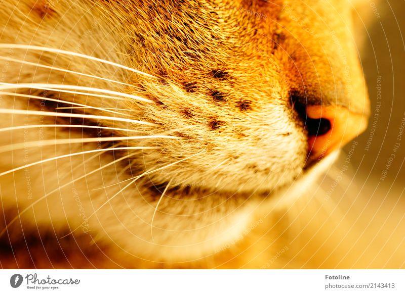 Schnurrrrrrrrrrrr! Environment Nature Animal Pet Cat Animal face Pelt 1 Near Natural Brown White Snout Nose Whisker Soft Point Colour photo Multicoloured