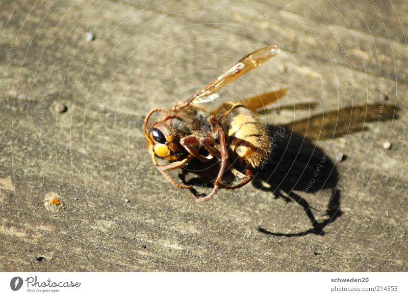 work until you fall down Animal Dead animal Bee Animal face Wing Lie Brown Yellow Death Wasps Curved Insect Colour photo Exterior shot Copy Space left