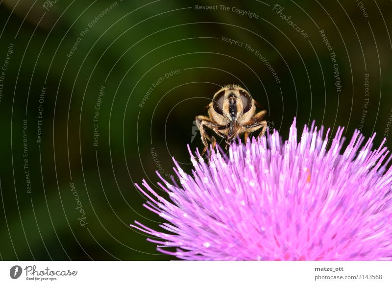 Nature Plant Animal Environment Pink Fly Sit Wing Insect Bee To feed Nectar Thistle Pollination Thistle blossom