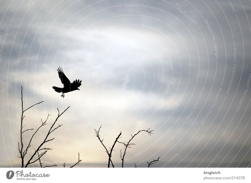 Sky Animal Gray Bird Flying Bushes Wing Twigs and branches Clouds in the sky Landing