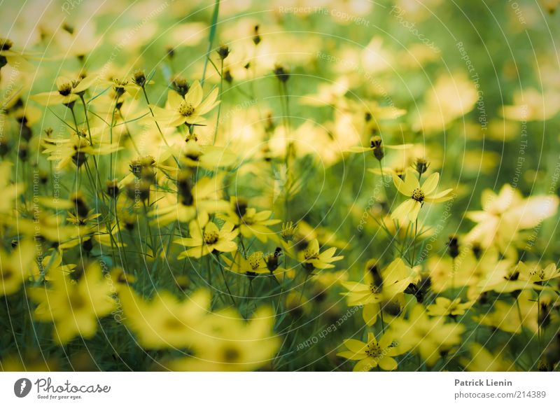 Nature Beautiful Flower Plant Summer Yellow Meadow Blossom Bright Weather Environment Fresh Multiple Authentic Climate Fragrance