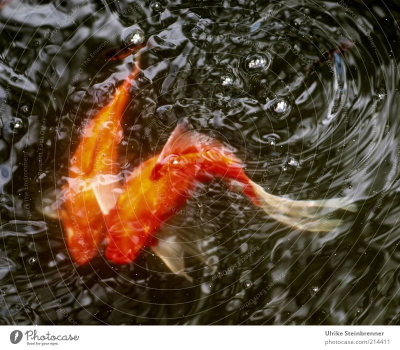 Wild Wedding Whirl Goldfish Swirl Together 2 Couple Rutting season Animal Basin Pond Water Carp Pet cyprinidae Tails Curve Curved Orange Waves Fish Fishpond
