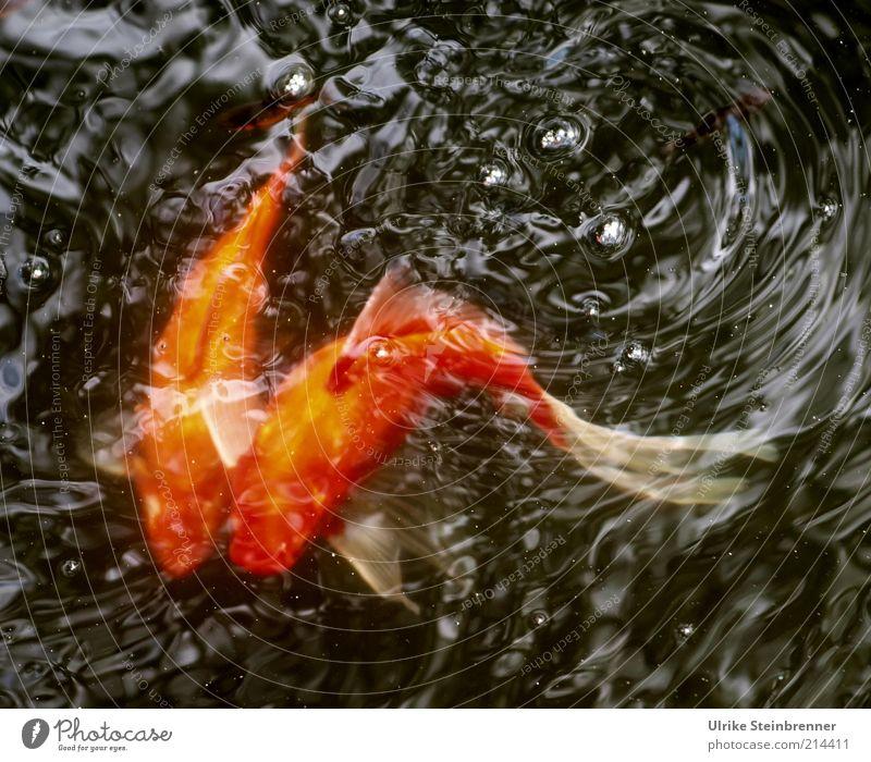 Wild Wedding Whirl Goldfish Swirl Together 2 Couple Rutting season Animal Basin Pond Water Carp Pet cyprinidae Tails Curve Curved Orange Waves Fish Fishpond