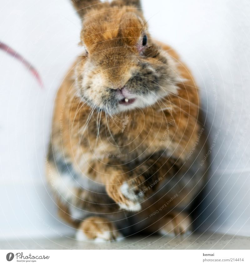 rub one's hands Animal Pet Animal face Pelt Claw Paw Hare & Rabbit & Bunny Pygmy rabbit Winter pelt 1 Looking Sit Old Cute Brown Easter Bunny Colour photo