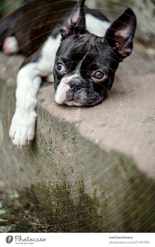 Boston Terrier Portrait Summer Warmth Stairs Animal Pet Dog 1 Baby animal Stone Concrete Observe Relaxation To enjoy Sleep Friendliness Happiness Natural