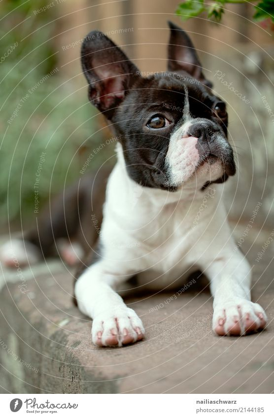 Boston Terrier Portrait Summer Warmth Stairs Animal Pet Dog Animal face 1 Observe Relaxation Lie Looking Wait Friendliness Happiness Cuddly Curiosity Cute