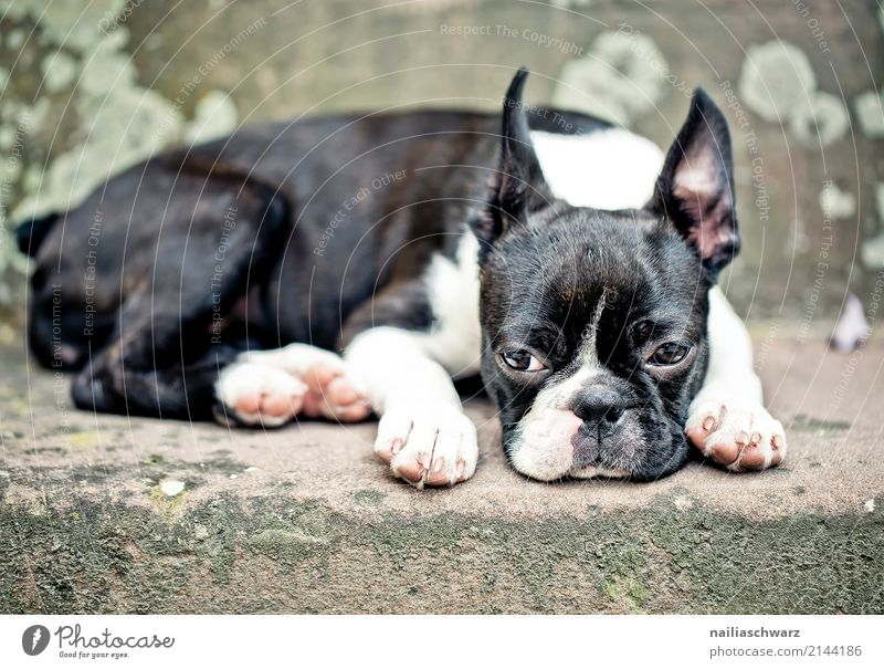 Boston Terrier Contentment Relaxation Summer Warmth Stairs Animal Pet Animal face 1 Stone Concrete Observe Sleep Sadness Friendliness Beautiful Cuddly Cute