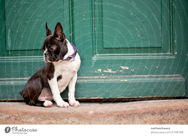 Boston Terrier Summer Warmth House (Residential Structure) Door Animal Pet Dog Animal face boston terrier French Bulldog Puppy 1 Stone Wood Observe Discover