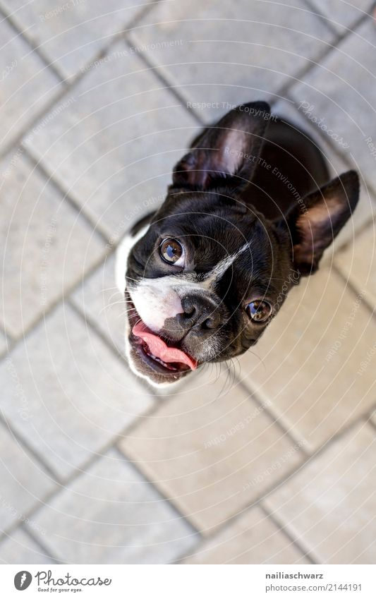 happy Boston Terrier Summer Warmth Animal Pet Dog French Bulldog 1 Baby animal Stone Concrete Observe Looking Sit Playing Wait Friendliness Happiness Happy