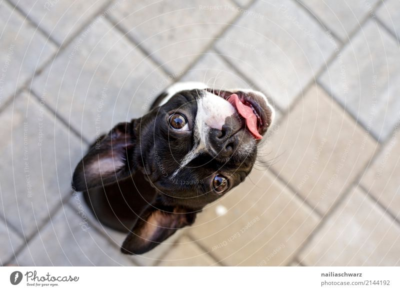 Boston Terrier Summer Warmth Animal Pet Dog French Bulldog 1 Baby animal Stone Concrete Observe To enjoy Looking Sit Wait Cool (slang) Friendliness Happiness