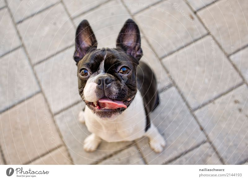 Boston Terrier Portrait Summer Warmth Animal Pet Dog Animal face French Bulldog 1 Stone Observe Discover Listening Looking Wait Friendliness Happiness Natural