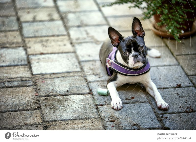 Boston Terrier Summer Warmth Animal Pet Dog Animal face boston terrier French Bulldog 1 Baby animal Stone Concrete Observe Relaxation Lie Looking Sleep Dream