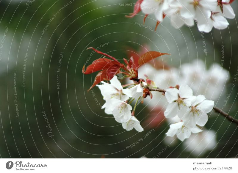 Nature Beautiful White Tree Plant Leaf Blossom Spring Growth Branch Blossoming Japan Cherry blossom Twigs and branches Asia