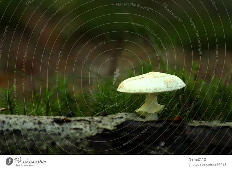Nature White Tree Green Plant Loneliness Forest Autumn Wood Natural Mushroom Tree trunk Moss Poison Individual Tree bark