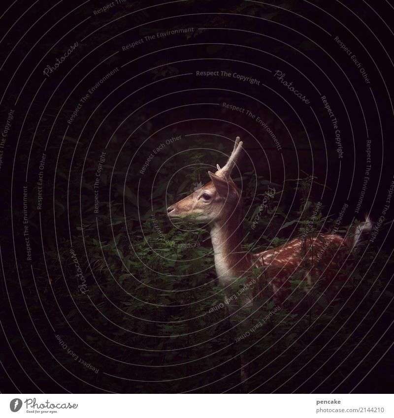In protection of the night. Forest Animal Wild animal 1 Dark Roe deer Hunting Buck Baby animal Watchfulness Listening Fear Hunter Observe Colour photo