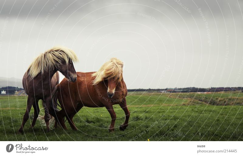 Wild Hilden Environment Nature Landscape Animal Sky Clouds Horizon Wind Meadow Farm animal Wild animal Horse 2 Pair of animals Walking Esthetic Natural Moody