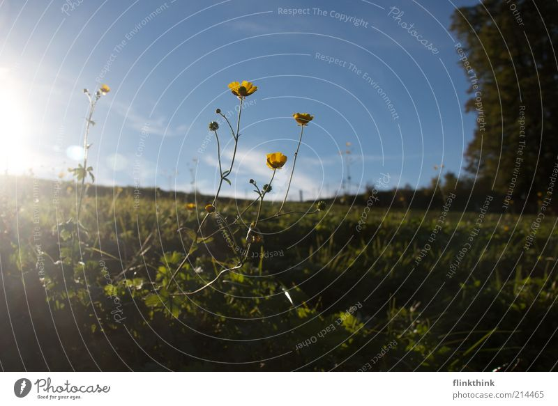 Nature Sun Flower Summer Meadow Blossom Grass Dream Landscape Environment Infinity To enjoy Beautiful weather Blue sky Foliage plant
