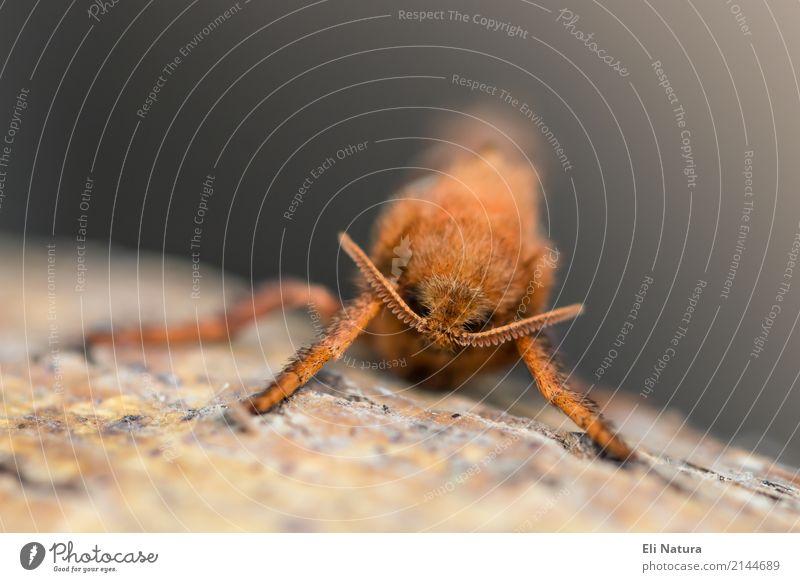 Beard is hard Animal Wild animal Butterfly Insect Feeler Brown Yellow Gray Orange Discover Nature Senses Environmental protection Tilt root borer dock