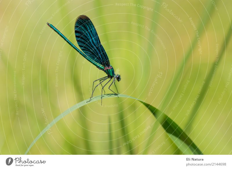 Dragonfly #1 Nature Plant Spring Summer Leaf Garden Park Meadow Pond Brook River Lakeside Animal Wild animal Insect Observe Sit Esthetic Thin Elegant Beautiful