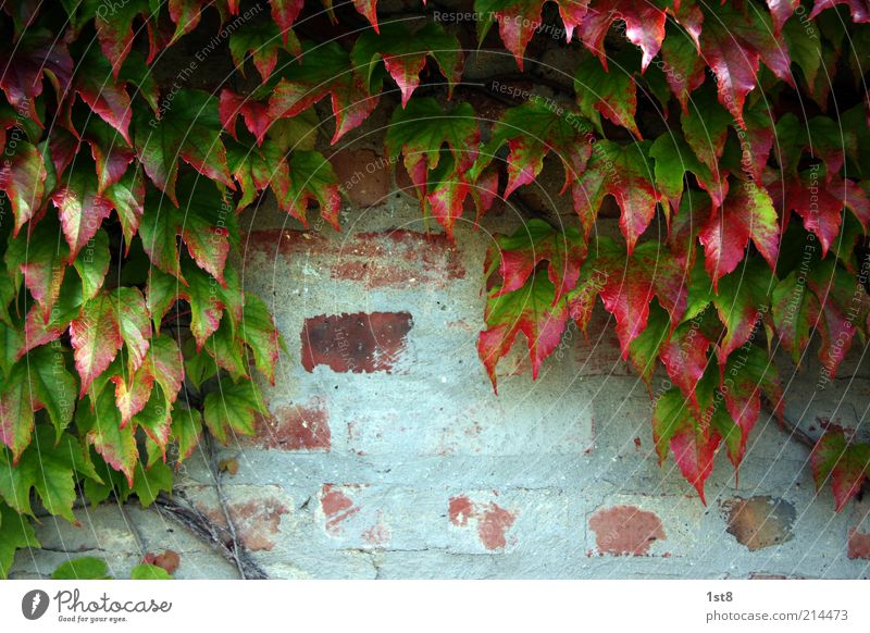 Nature Old Plant Red Leaf Autumn Wall (building) Wall (barrier) Environment Facade Growth Brick Plaster Ivy Autumn leaves Foliage plant