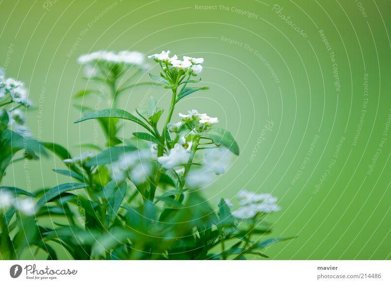 Nature White Green Plant Blossom Environment Blossom leave Wild plant