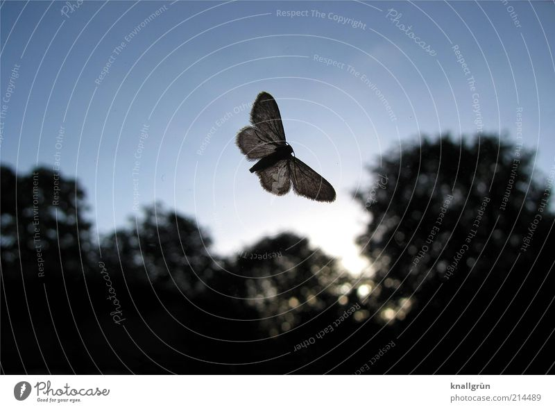 flutter man Nature Plant Animal Sky Tree Moth Butterfly Insect 1 Dark Bright Blue Black Translucent Colour photo Exterior shot Deserted Copy Space top Dawn