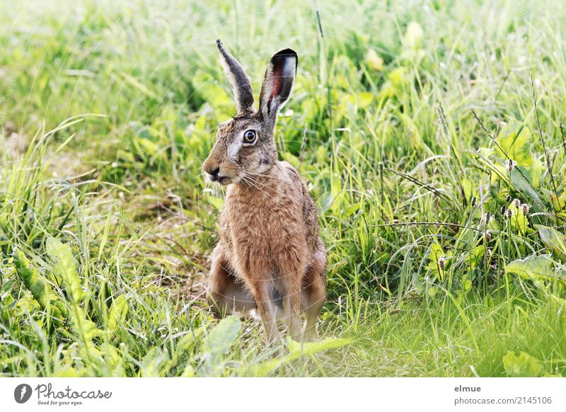 summer shasi Field Wild animal Hare & Rabbit & Bunny wild hare Ear Pelt Spoon Observe Crouch Communicate Athletic Cuddly Near Natural Cute Green Attentive