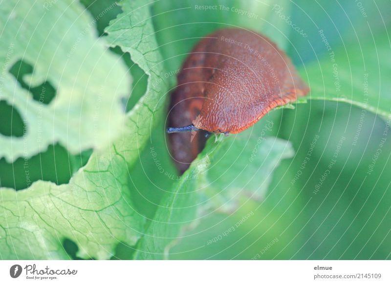 Garden fright (3) Nature Animal Summer Lettuce Wild animal Snail Slug Feeler Mollusk Destructive weed garden fright To feed Disgust Elegant Glittering Creepy