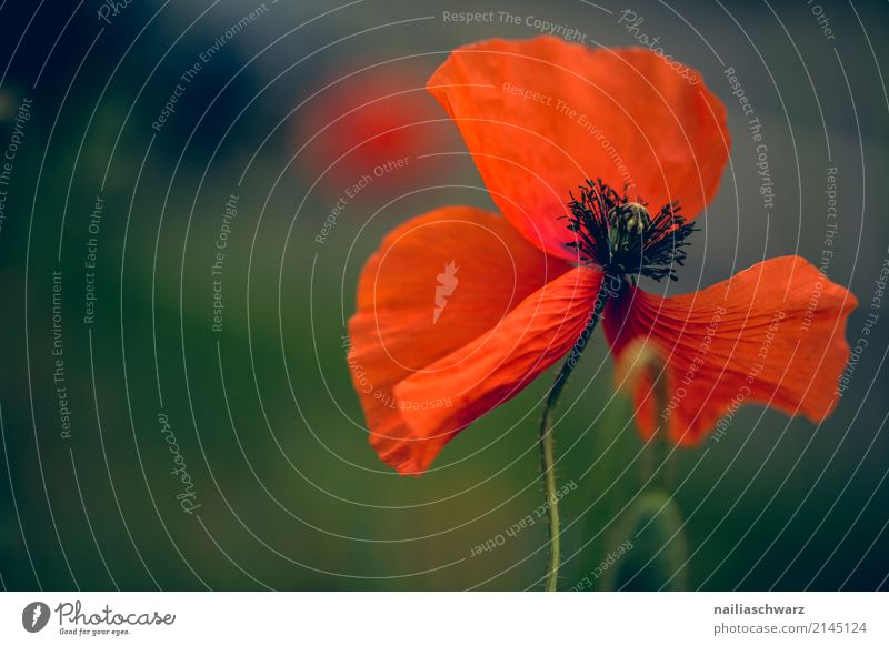 poppy Summer Nature Plant Spring Flower Blossom Blossoming Fragrance Jump Faded Growth Simple Natural Beautiful Green Red Happiness Warm-heartedness Peaceful