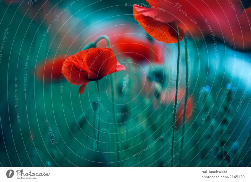 poppy meadow Summer Nature Plant Flower Grass Jump Poppy Poppy blossom Poppy field Spring Meadow Meadow flower Idyll Colour photo Exterior shot Deserted Day