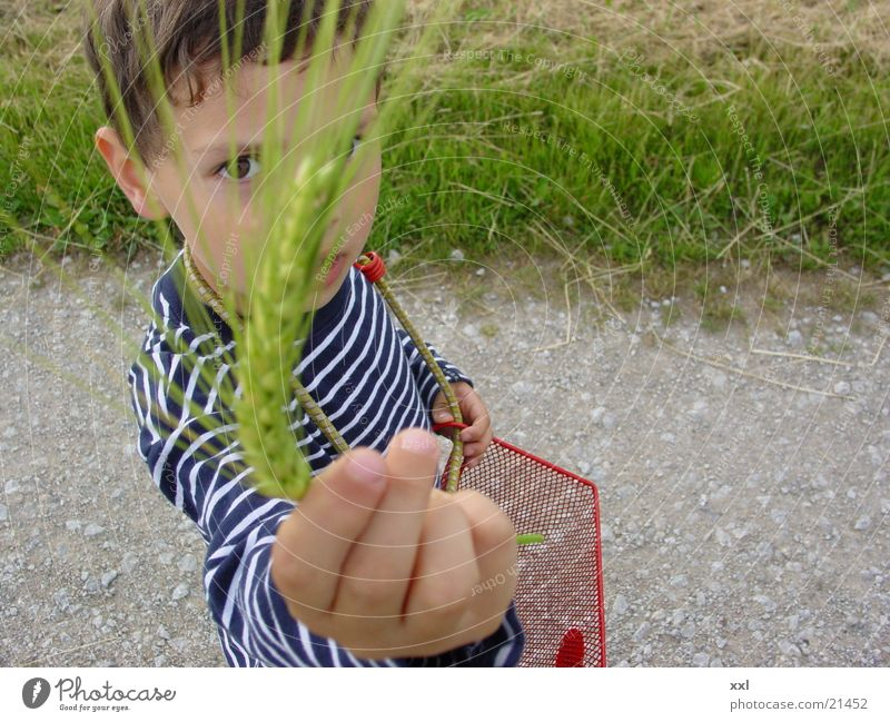 Grain Grain Ear of corn
