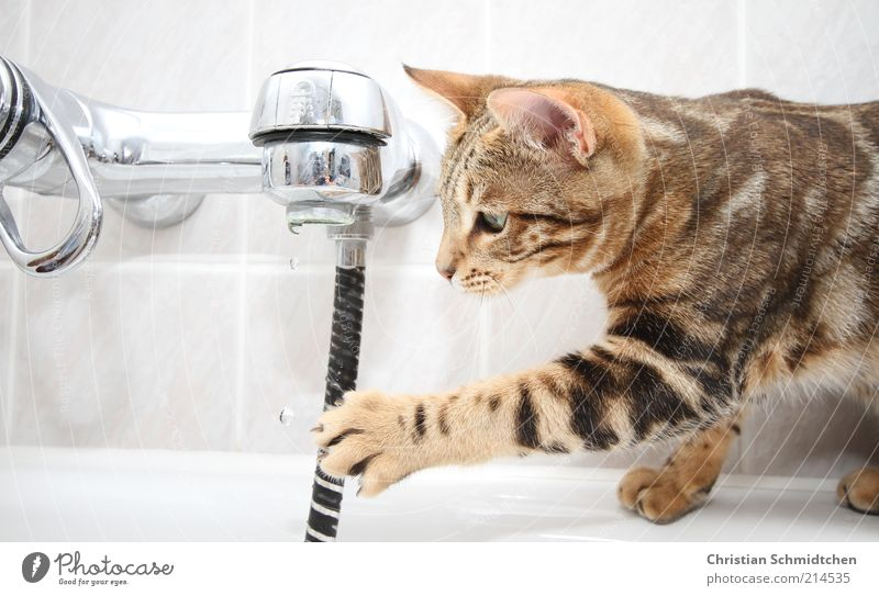 White Joy Black Animal Cat Brown Drops of water Bathroom Observe Swimming & Bathing Catch Tile Curiosity Brave Pet Tap