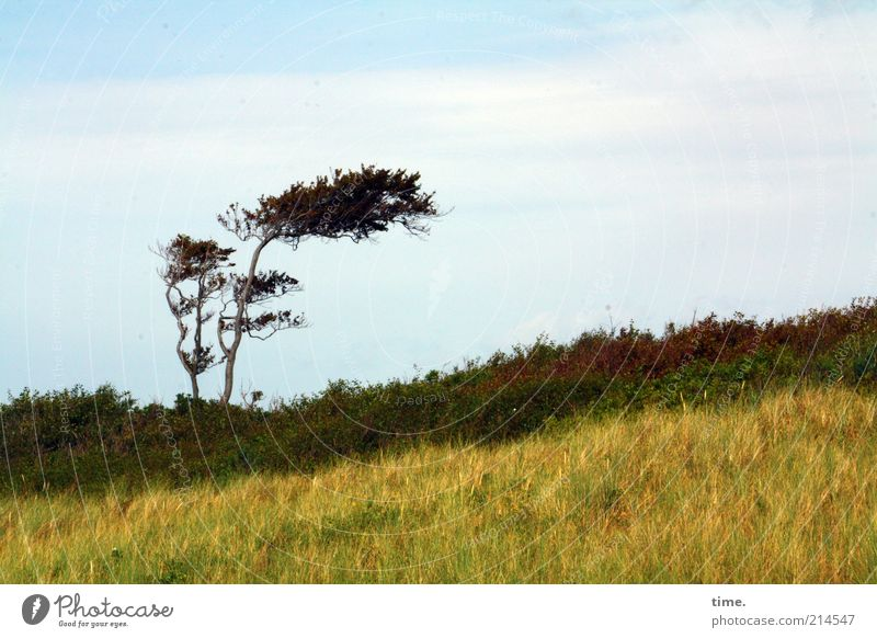 Nature Sky Tree Yellow Grass Landscape Brown Beach dune Dune Landmark Individual Marram grass Wind cripple