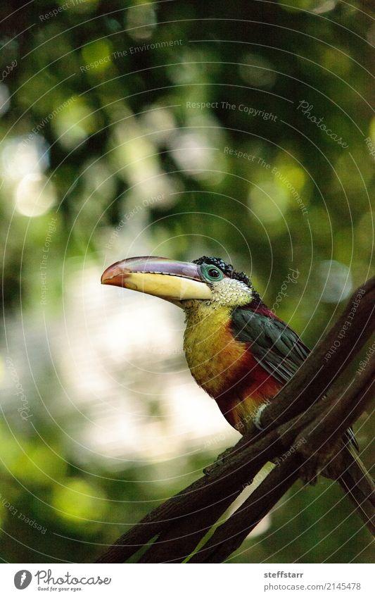 Curl-crested Aracari called Pteroglossus beauharnaesii Green White Tree Red Animal Forest Yellow Bird Orange Gold Wild animal Virgin forest Beak Bank note
