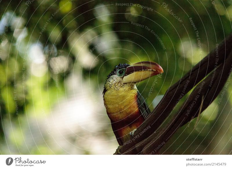 Curl-crested Aracari called Pteroglossus beauharnaesii Green White Tree Red Animal Forest Black Yellow Brown Bird Orange Gold Wild animal Virgin forest